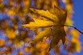 برگ زرد-پاییز-yellow leaves-falling leaves 23.jpg