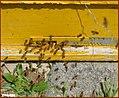 زنبور داری در مراغه - panoramio (7).jpg
