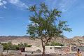 شجرة داخل منطقه بير زغير 3.jpg