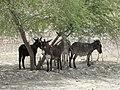 ظهر گرم تابستان و سايه اي براي استراحت خران عشاير- Animals Resting In The Shadow - panoramio.jpg