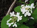 ヤブデマリ Viburnum plicatum var. tomentosum.JPG