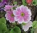 四季報春(鄂報春) Primula obconica -比利時國家植物園 Belgium National Botanic Garden- (9173505114).jpg