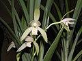 四季天鵝 Cymbidium ensifolium 'Swan' -香港沙田國蘭展 Shatin Orchid Show, Hong Kong- (12147146633).jpg
