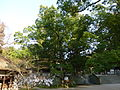 大山祇神社 伊藤博文公記念楠樹.JPG