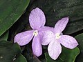 山柰 Kaempferia galanga -香港嘉道理農場 Kadoorie Farm, Hong Kong- (9200911576).jpg