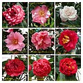 山茶花 Camellia japonica cultivars 2 -深圳園博園茶花展 Shenzhen Camellia Show, China- (9252462925).jpg