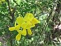 染料木屬 Genista canariensis -比利時國家植物園 Belgium National Botanic Garden- (9213295127).jpg