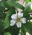 歐楂 Mespilus germanica Westerveld -比利時 Ghent University Botanical Garden, Belgium- (9229898790).jpg