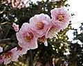 江梅 Armeniaca mume f simpliciflora -南京梅花山 Nanjing, China- (33282586362).jpg