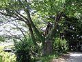 浮島神社の大欅 - panoramio.jpg