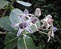 牛角瓜 Calotropis gigantea -沖繩熱帶夢幻中心 Tropical Dream Centre, Okinawa- (9580453399).jpg