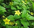 珍珠菜屬 Lysimachia nemorum -比利時 Ghent University Botanical Garden, Belgium- (9216069698).jpg