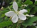 矮白花羊蹄甲 Bauhinia acuminata -香港大埔海濱公園 Taipo Waterfront Park, Hong Kong- (9240151950).jpg