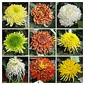 菊花 Chrysanthemum morifolium cultivars 10 -上海共青森林公園 Shanghai, China- (11994934004).jpg