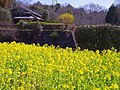 錦織公園 河内の里の菜の花畑 Rape blossoms in Kawachi-no-sato 2013.3.15 - panoramio.jpg