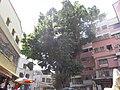高大的老榕樹 - panoramio.jpg