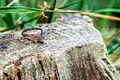 鴻ノ巣山のトカゲ A Lizard on a Stump (8204869861).jpg