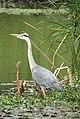 -2020-06-10 Grey Heron (Ardea cinerea), Paston, Norfolk (5).JPG