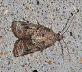 - 3740 – Platynota idaeusalis – Tufted Apple Budmoth (14865092276).jpg