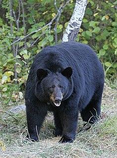 American black bear species of bear