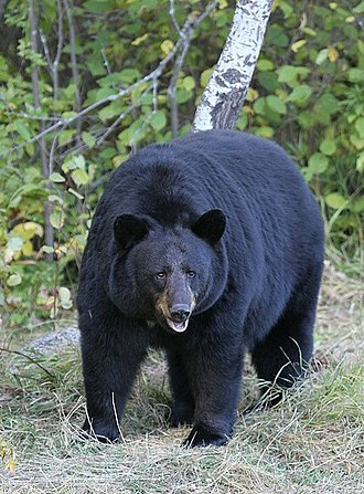 American black bear - Found near Riding Mountain National Park, Manitoba, Canada