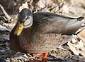 027 - MALLARD (Northern x Mexican hybrid male) (12-5-2016) farmington, san juan co, new mexico -a (3) (30856415664).jpg