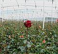 05 vrtnice (16).JPG