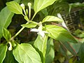 0998Ornamental plants in the Philippines 33.jpg