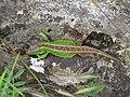 16.05.17 Zauneidechse-weiblich-Hörnle.jpg
