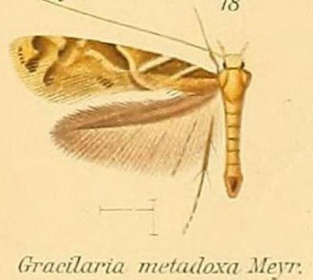 Caloptilia metadoxa