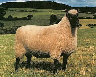 Clun Forest sheep - Image: 1980 UK Ram of the Year (Clun Forest breed)