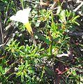 1 Carpet Sorrel Oxalis glabra - Kenwyn Nature Park Cape Town.jpg