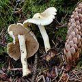2012-10-18 Inocybe suaveolens D.E. Stuntz 274430.jpg