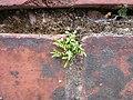 20120720Asplenium trichomanes3.jpg