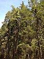 2013-05-10 11 04 57 Edge of an Atlantic White Cedar swamp along the Mount Misery Trail where it overlaps Butterworth road in Brendan T. Byrne State Forest.jpg