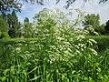 20130525Chaerophyllum temulum2.jpg