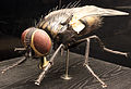 2013 Naturkundemuseum Berlin musca domestica anagoria.JPG