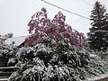 2014-05-06 09 35 02 Snow on a Crabapple and other trees in Lamoille, Nevada.JPG
