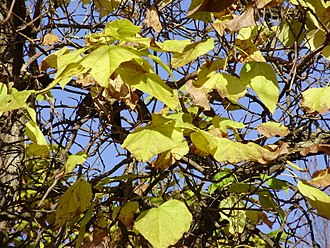 Catalpa - Autumn foliage