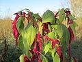 20141108Amaranthus caudatus2.jpg