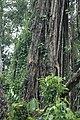 2014 Borneo Luyten-De-Hauwere-Forest-02.jpg