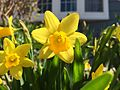 2015-04-12 11 31 38 Mini daffodils blooming on Terrace Boulevard in Ewing, New Jersey.jpg