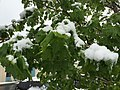 2015-05-07 07 50 40 New green leaves covered by a late spring wet snowfall on a Norway Maple on Silver Street in Elko, Nevada.jpg