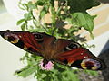 2015-08-22 Neitoperhonen täpläperhosten heimoon kuuluva päiväperhonen.jpg