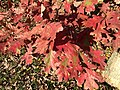 2015-11-08 15 19 38 White Oak foliage during autumn along West Ox Road (Virginia State Secondary Route 608) in Oak Hill, Fairfax County, Virginia.jpg