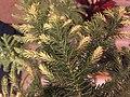 2015-12-28 00 15 58 Chlorosis on an Araucaria.jpg