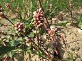 20150821Persicaria lapathifolia3.jpg