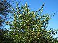 20160929Carpinus betulus1.jpg