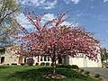 2017-04-14 14 38 47 'Kanzan' Japanese Cherry flowering along Dairy Lou Drive at White Barn Lane in the Franklin Farm section of Oak Hill, Fairfax County, Virginia.jpg