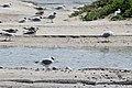 2017-07 Réserve naturelle nationale de la baie de Somme - Black-headed gull.jpg